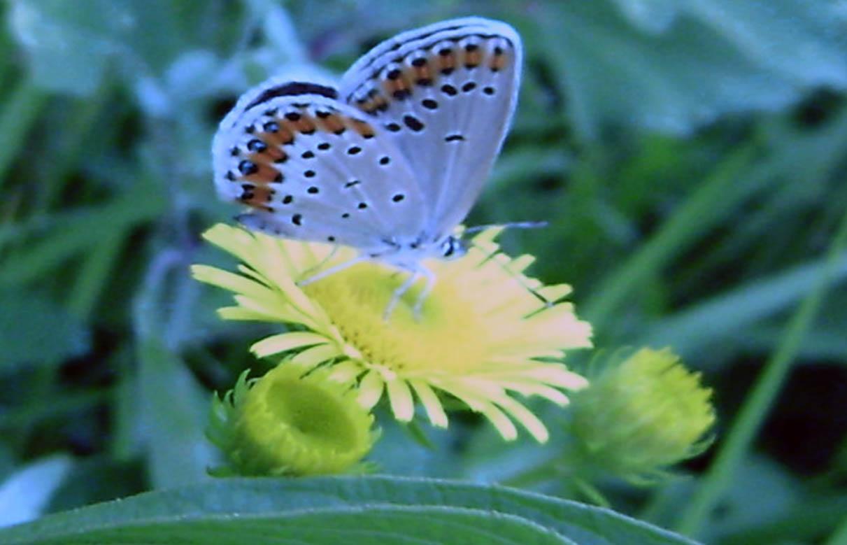 美丽的蝴蝶 - 桃源居主 - 桃源居主