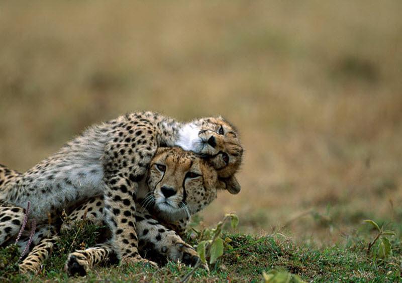 摄影师拍摄动物家庭温馨有爱瞬间