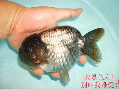 cn  兰寿金鱼,在无背鳍的蛋种鱼中,算是最名贵的品种,不论从标准严格