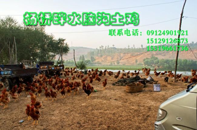 靖边水脑沟放养鸡