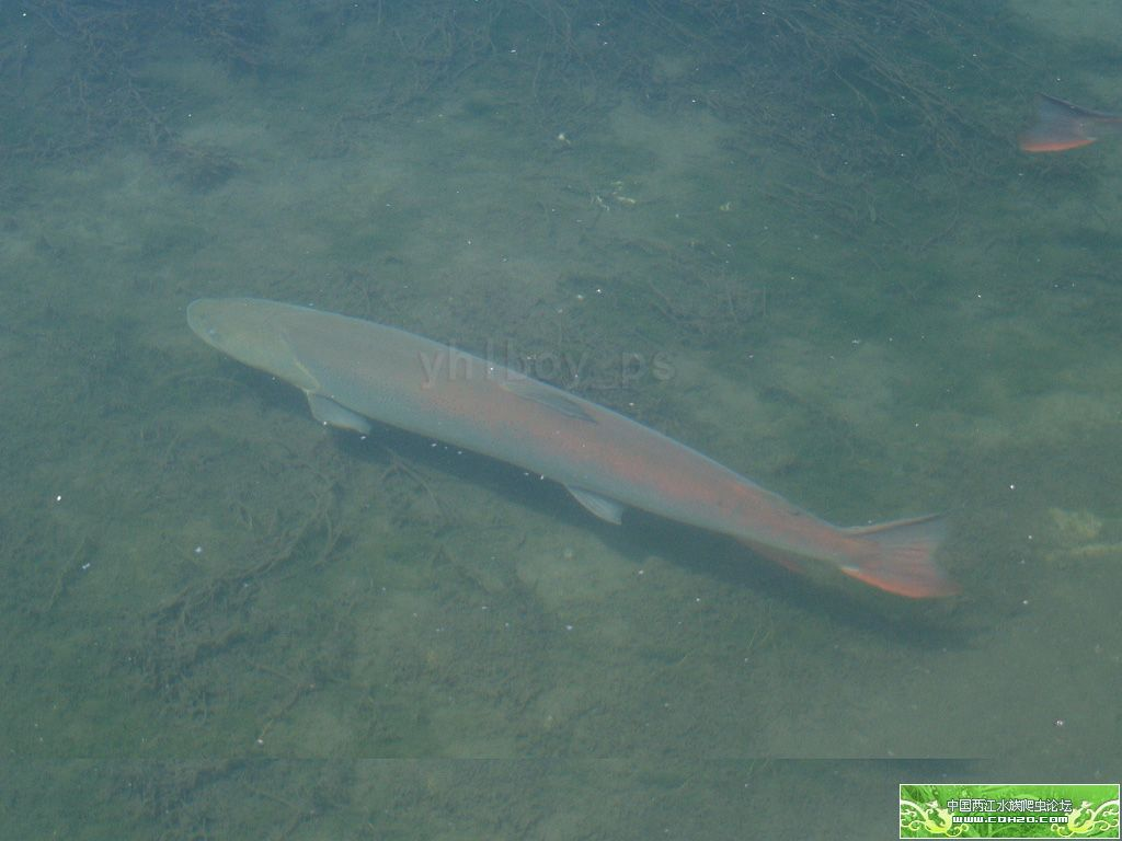 哲罗鲑-山哲罗鱼图片