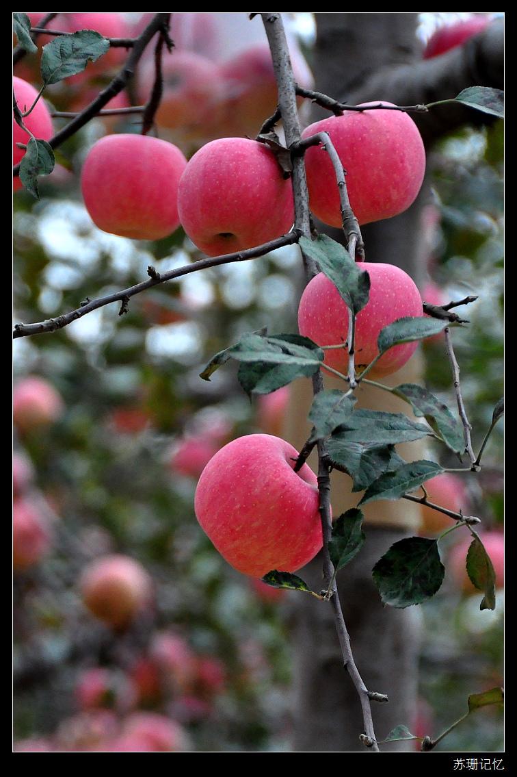 黄土高坡很让人吃惊,一棵苹果树上居然能结那么多的果实!