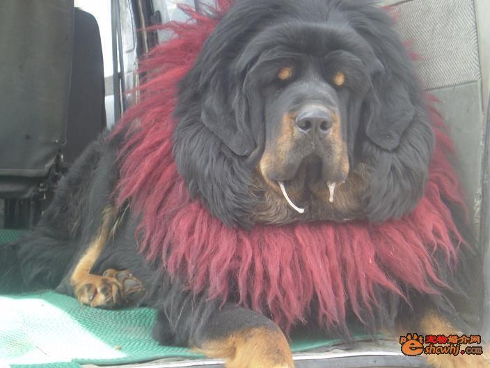 藏獒打架视频咬死老虎,藏獒和老虎打架,藏獒与狮子老虎打架,高清图片