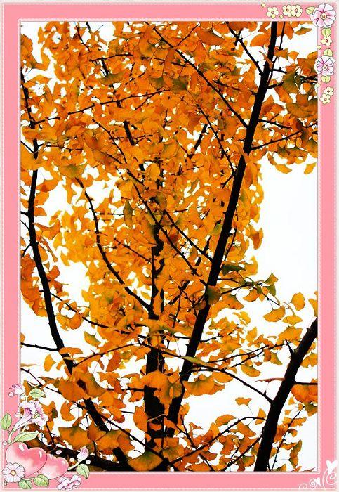 主题: [原创]浙大广场的银杏树叶金黄