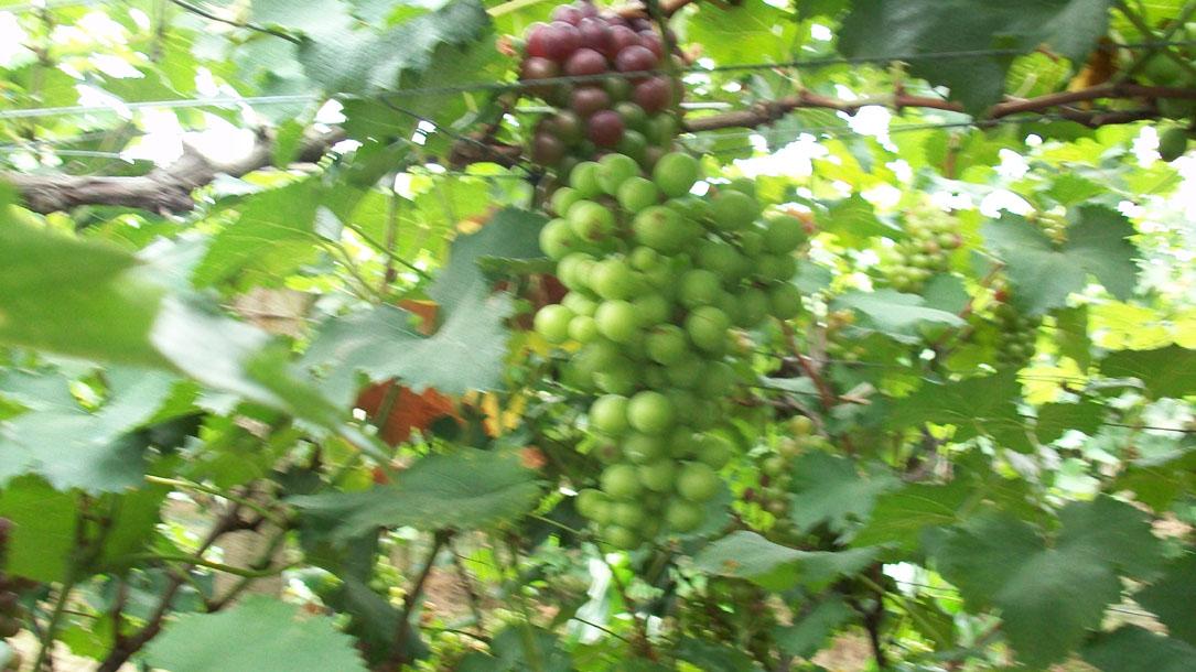 [原创]七月二十六日南京江心洲葡萄节摘葡萄