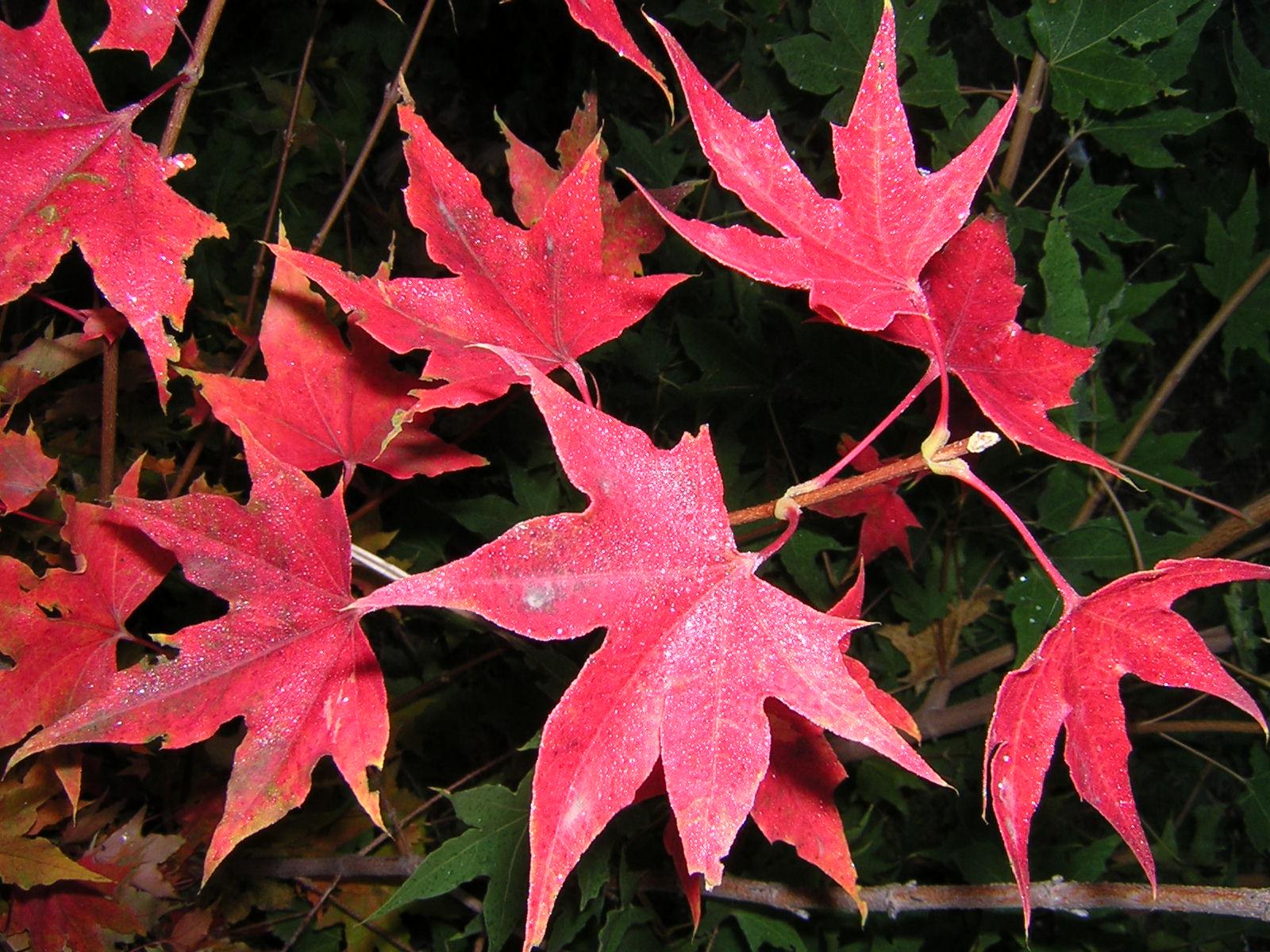 [原创]秋天的叶子