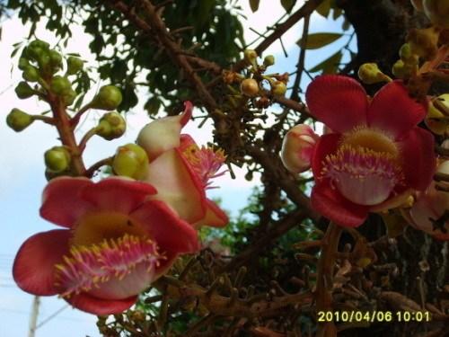 圣树:菩提树和菩提花(图)