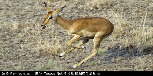 野生动物园中三只猎豹与羚羊成为朋友(图)-鄂州论坛