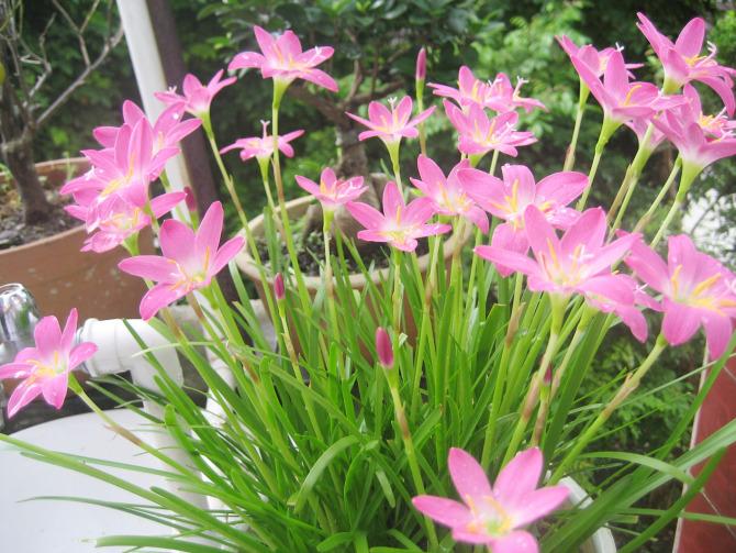 风雨兰 本地俗称 水仙花
