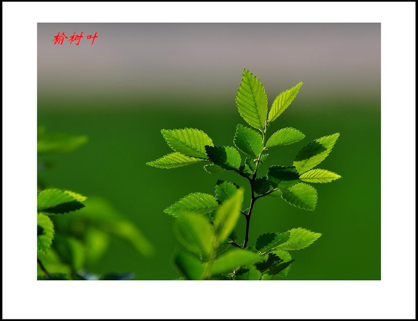 榆树叶子近况介绍