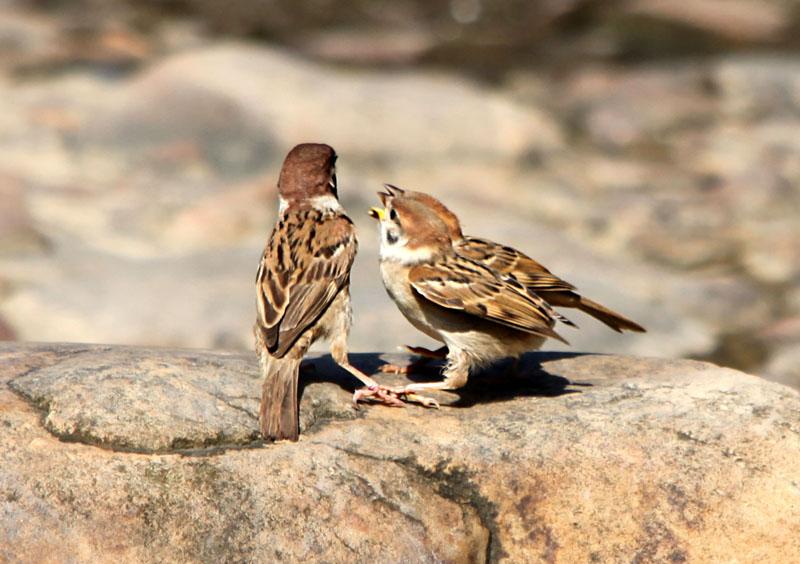 动物摄影-112 雀的故事>_生态微距_北票论坛