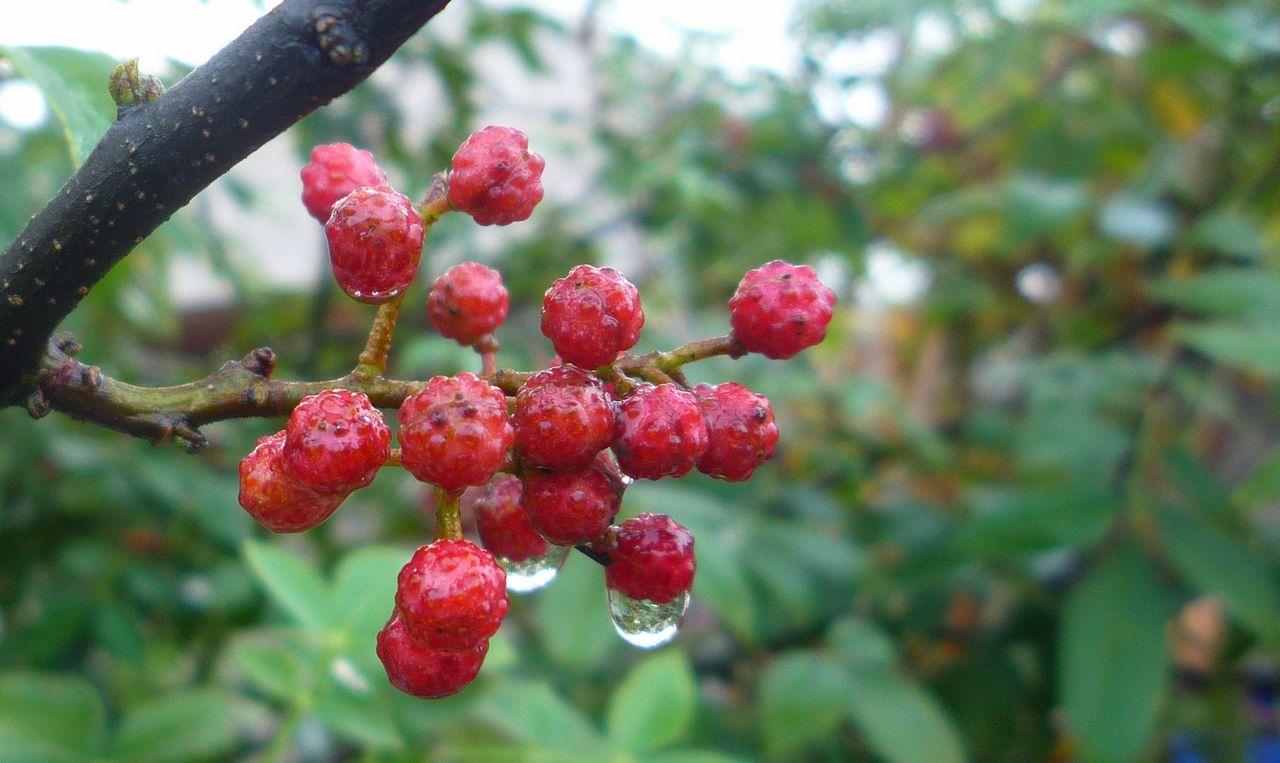 主题: [原创]雨后的花椒