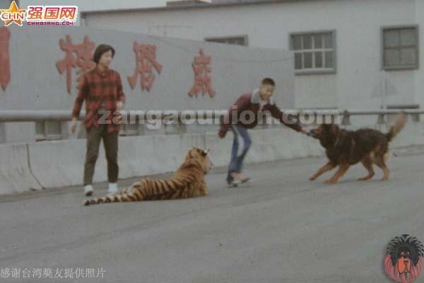 老虎狮子打架咬死视频,人自然老虎和狮子打架,狮子和老虎打高清图片