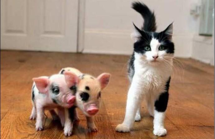 可爱的宠物猪_摄影天地