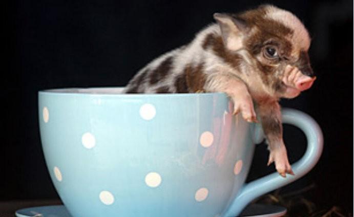 主题: 可爱的宠物猪