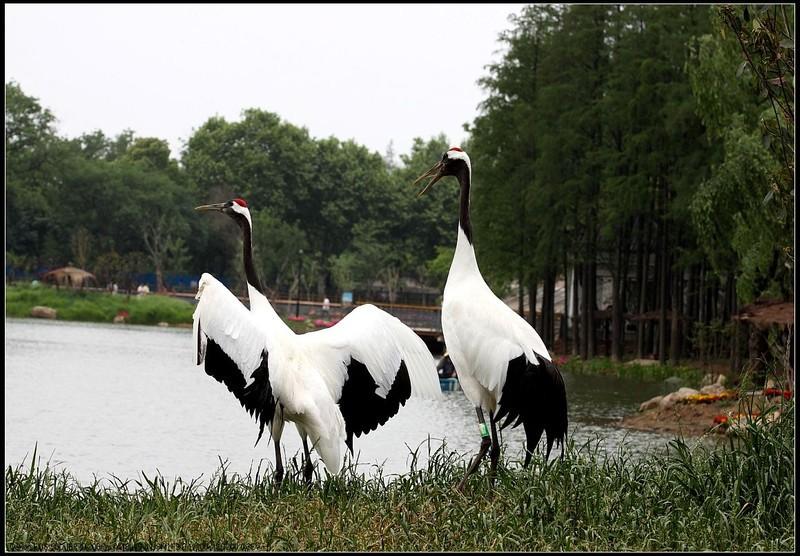 丹顶鹤具备鹤类的特征,即三长——嘴长,颈长,腿长.