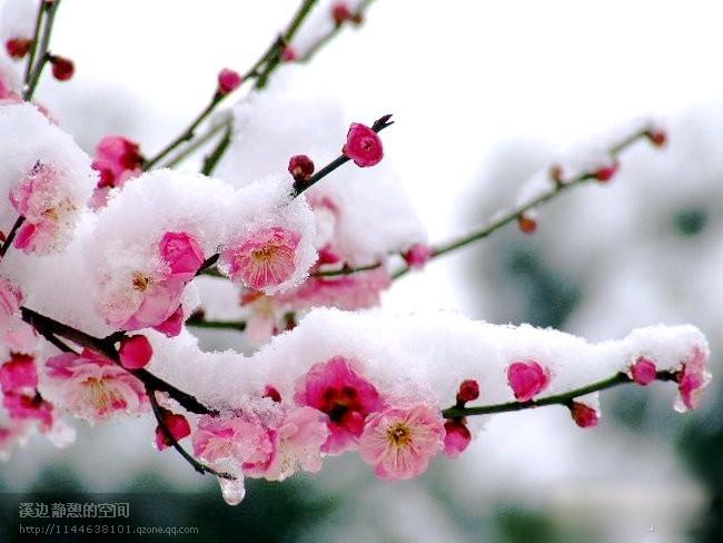 梅雪浸染一掬冬季眷语【原创诗】 - 高天流云 - 高天流云的博客