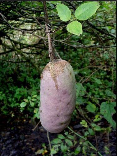 八月瓜 枞树菌