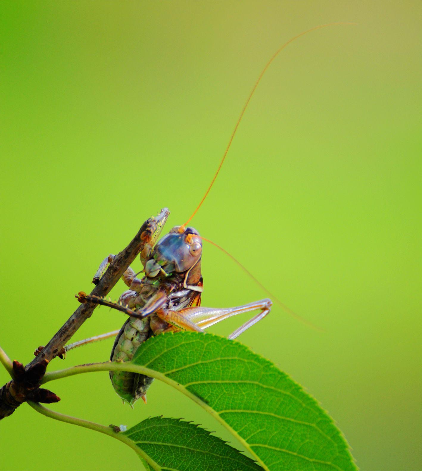 昆虫腹部结构图