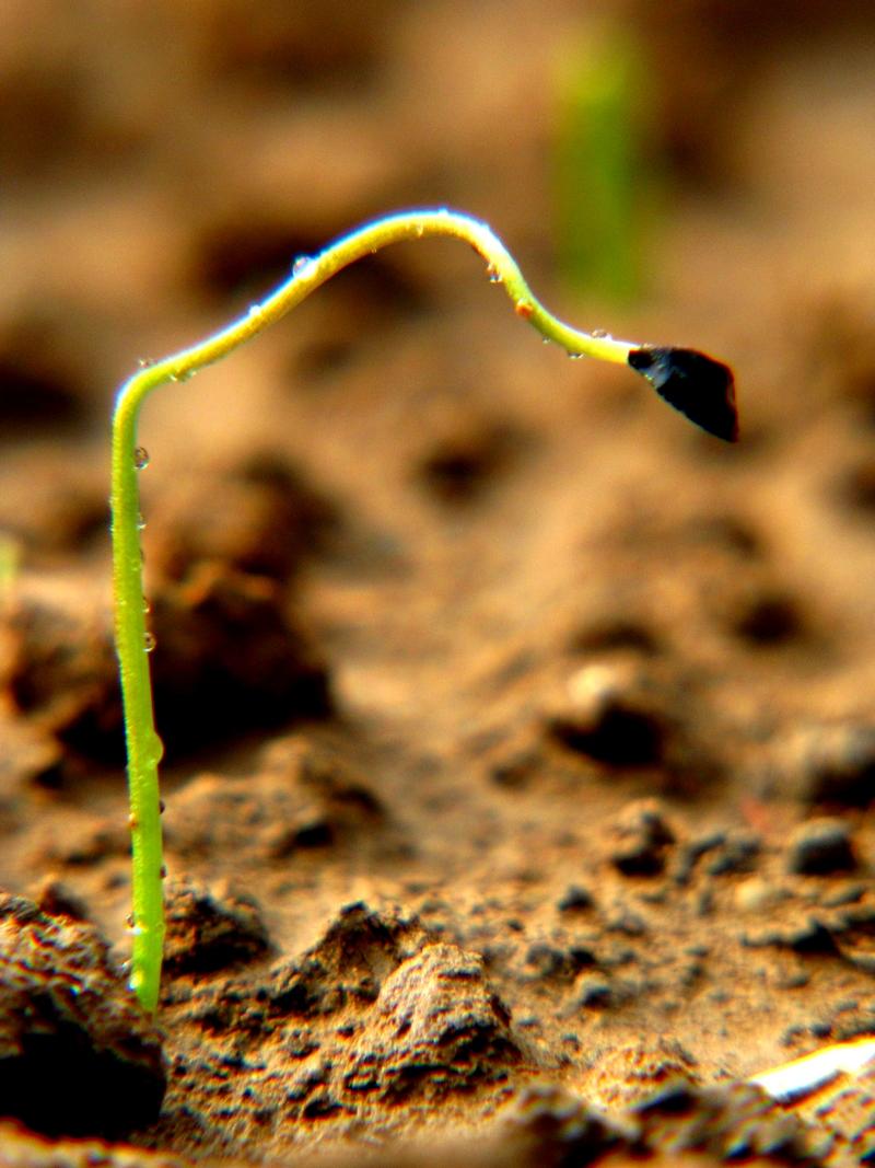 小葱种子几天发芽_小葱种子多久发芽