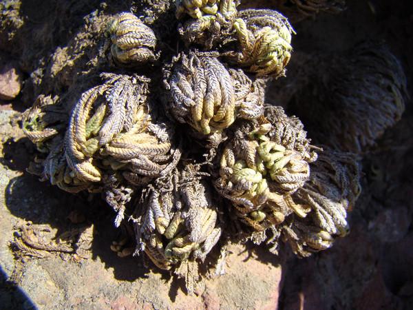 数量大,分布广;这种岩生植物(或土生植物)去年仅在登葫芦岛的小红螺山