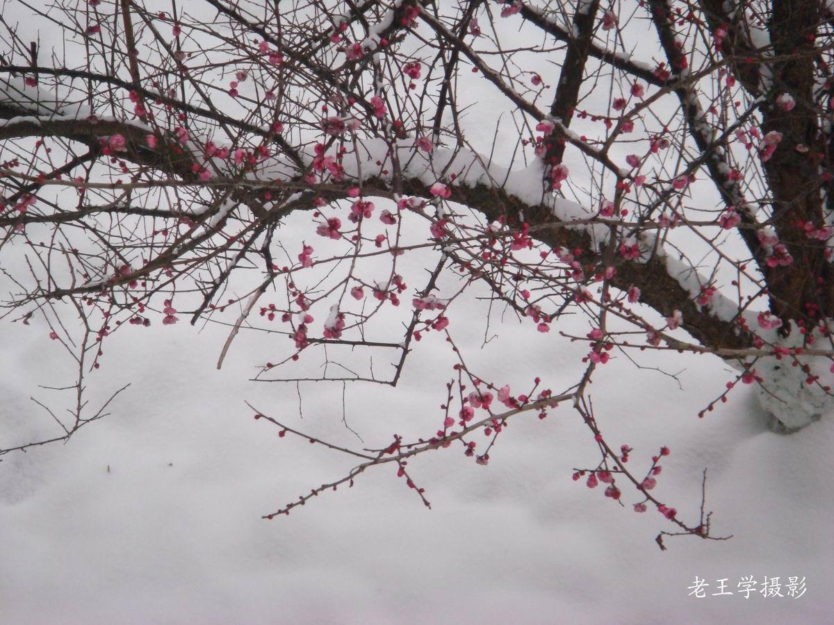 梦见雪中假梅花非常好看 占卜梅花梦见好看图片