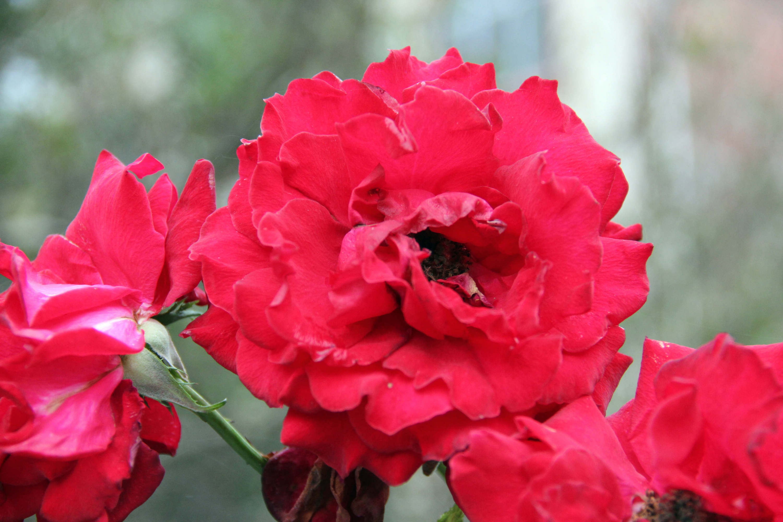 qq表情图片大全玫瑰花图片