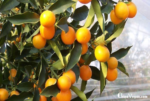 金桔,又名金柑,属芸香科,是著名的观果植物。特别是在广东及香港地区,很多市民为图吉利在春节购买。金橘为常绿灌木。花单生,白色,芳香。果多为椭圆形,金黄色,有光泽,部分品种可食用。多以嫁接法繁殖。   基本信息   别名:洋奶桔、牛奶桔、金枣、金弹、金丹、金柑、马水橘、金桔、金橘、脆皮桔   科属:芸香科 金桔属   国内分布:秦岭、长江以南   植物特征   常绿灌木或小乔木,高3米,通常无刺,分枝多。叶片披针形至矩圆形,长5-9厘米,宽2-3厘米,全缘或具不明显的细锯齿,表面深绿色。光亮。背面表绿色,有