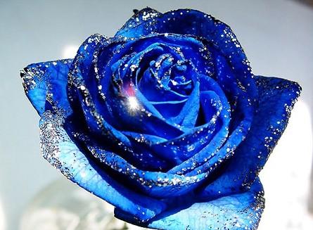 一朵蓝色的玫瑰花