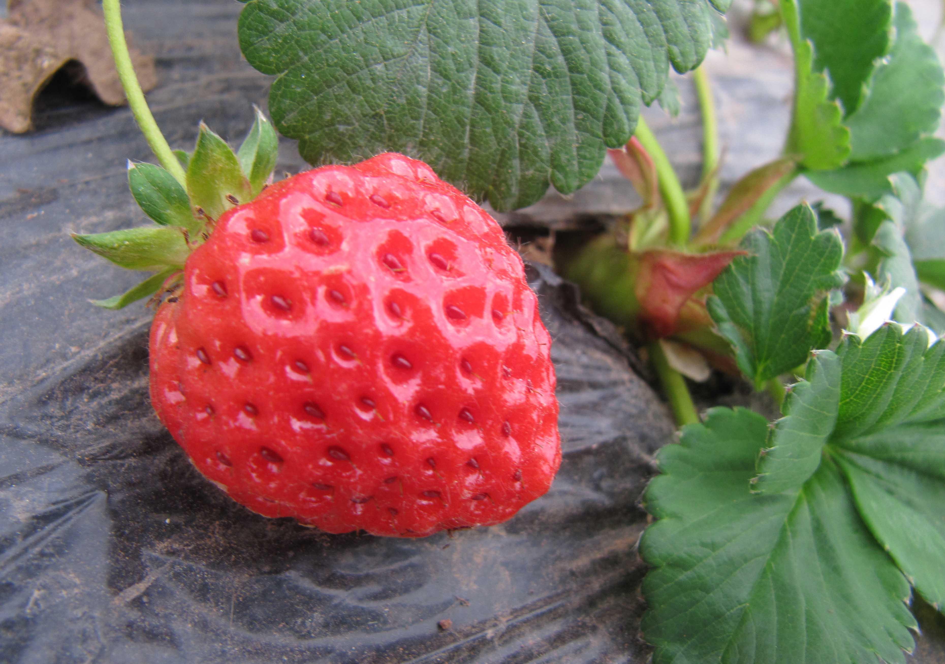 在这里说一句,我是忙着给大家拍照片去了,没有摘到几个很红的草莓,大都是半生半红的多(你们注意看嘛,那个框子里面的草莓最不红,那个就是我摘得的),但是真还是像草莓园老板说的那样,有点挂红的果子就很甜。一筐草莓由于少了中间转手环节,从地里面摘回来,在家里的冰箱里放了一个星期,都还是很新鲜的。草莓娇嫩,很容易碰伤,大家要去摘的时候,也记得像我们这样带一个框子,用塑料袋子是绝对不行的哈。当然,如果你准备摘回来就做草莓酱,那又另当别论了。 望大家都走进春天,走进大自然,感受春天、享受大自然赐予人类的快乐!