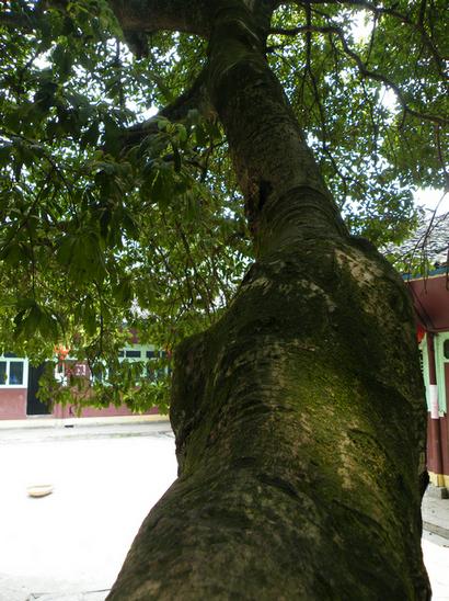 古杨梅树在来凤黄柏园