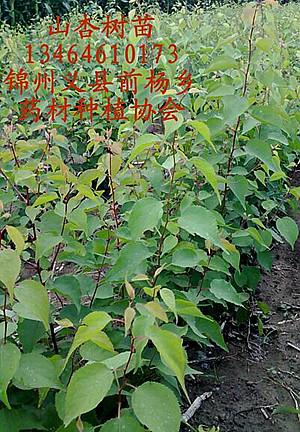 种子:枸杞树苗 藤本牡丹苗