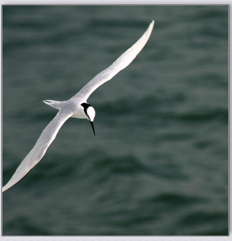 海鸥图片大全-大海蓝天白云海鸥图片|两只海鸥图片大全|海鸥手工图片