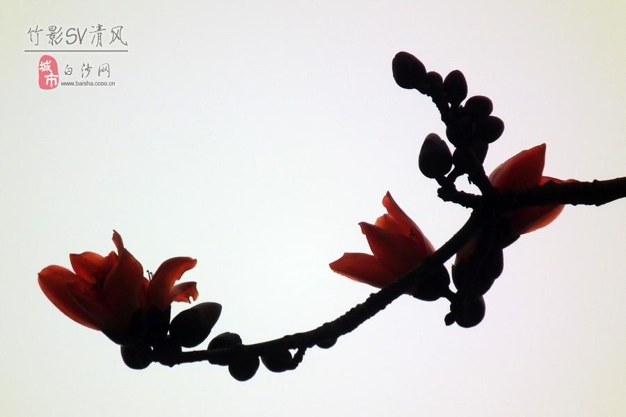 木棉花的春天_影像白沙