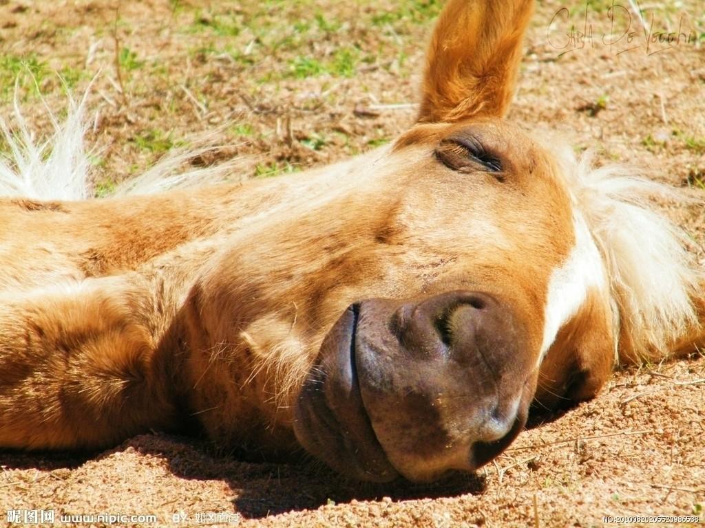马是怎么睡觉的?奇怪睡姿为保命