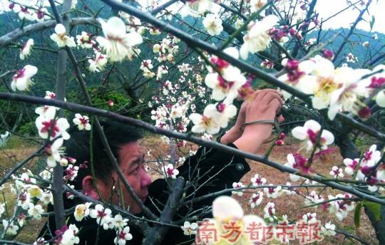 罗浮山景区内的梅山,千株梅树开花正艳.