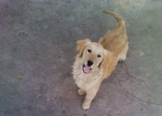 金毛幼犬怎么养_离石出售四个月大的金毛犬