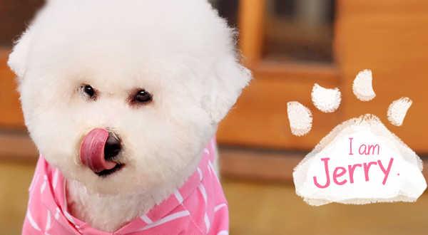 帐号登录北熊犬,雪白一身,用粉红色的t恤搭配,展现乖巧,可爱的性格.