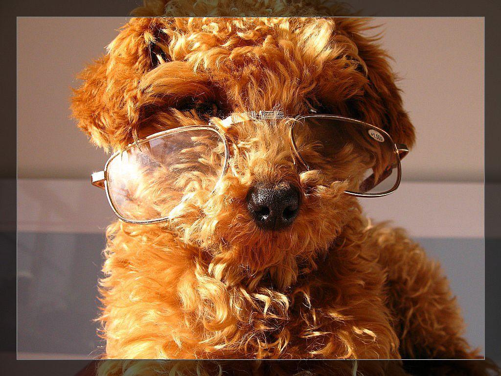 茶杯犬图片果图图片下载1024 _泰迪熊和贵宾犬_泰迪熊贵宾犬_; 搞笑