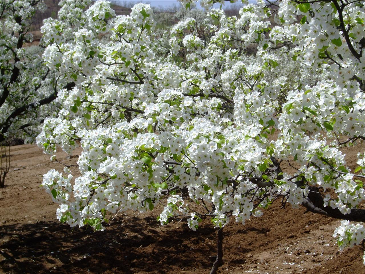 梨花树ps立面素材