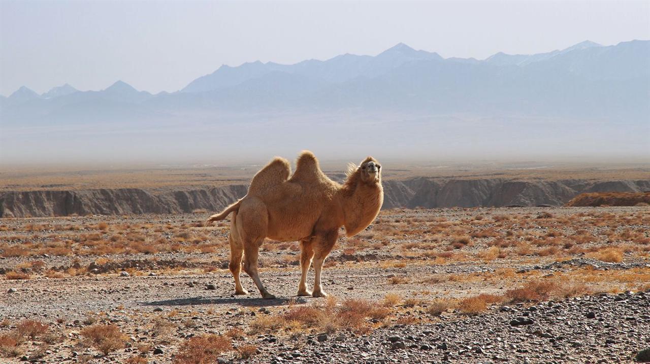 主题 天边的骆驼