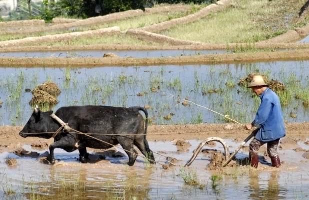 牛耕地卡通图片