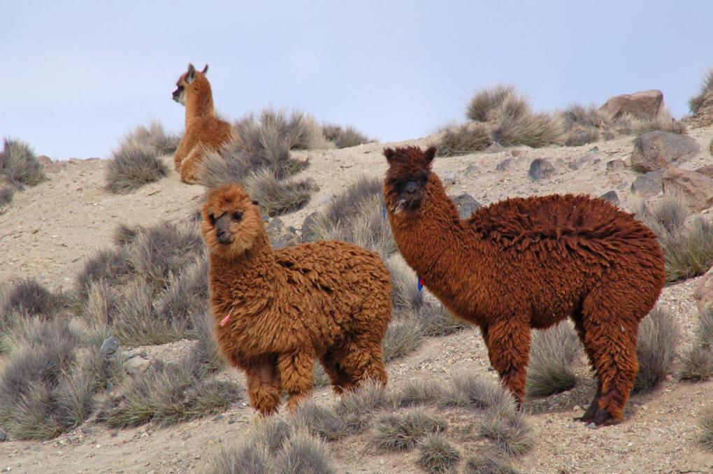壁纸 动物 鸡 骆驼 1020_678