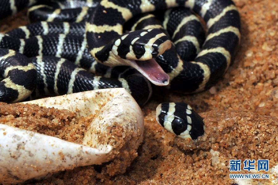 图片展示238887-海南大学孵化野生眼镜王蛇-蓝焰香