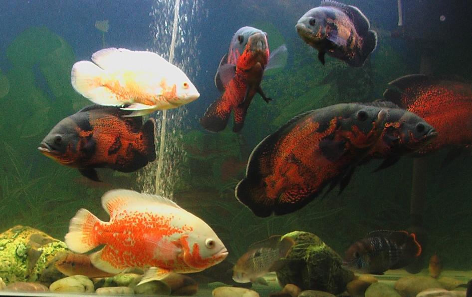 地图鱼怎么分公母图片 地图鱼怎么分公母图解 地图鱼怎样分公母图片图片