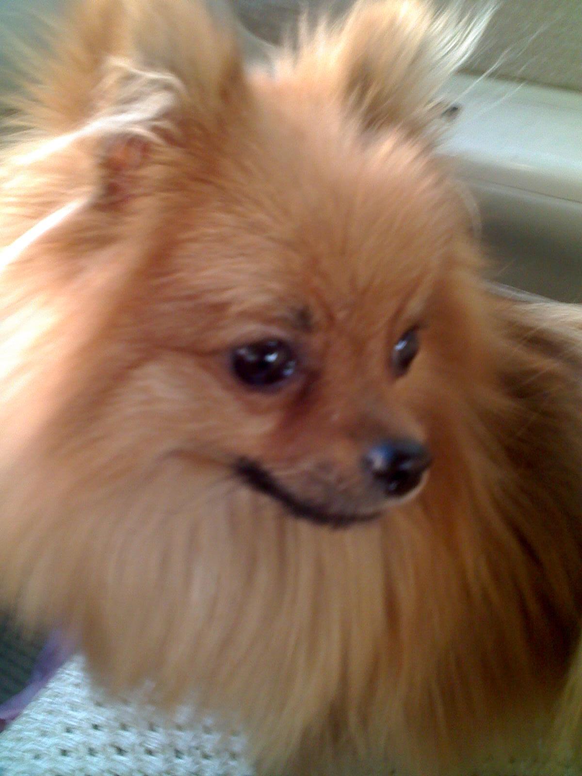 小狐狸狗图片白色小狐狸狗图片 小狐狸图片1; 白狐狸犬图片_图片大全