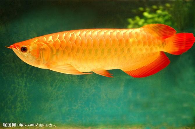 热带鱼:   银龙鱼、金龙鱼、地图鱼、招财罗汉、台湾血鹦鹉鱼高清图片