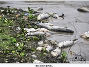 赣江出现大量死鱼 目击者称有渔船电击鱼群(图)――宁城在线