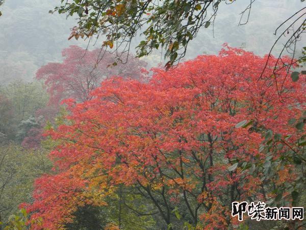 """""""据景区工作人员介绍,天台山的红叶主要是漆树,鸡爪枫等树种,等"""