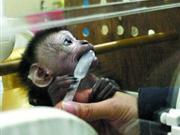 猴宝宝无奶吃 动物园女工献母乳当奶妈(组图)